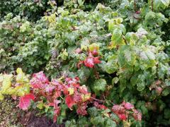Photo : Poison oak, plante urticante et très commune